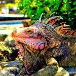 Picture of an Iguana