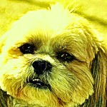 Picture of Toto the pet dog